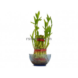 Bamboo Plant(vastu moongil)
