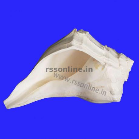 Dakshinavarti Valampuri Sangu(Conch) - 10''